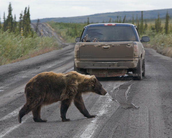 Bear crossing Dempster Highway