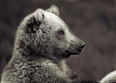 Bear portraiture